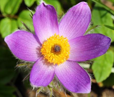blooming  purple: Spring Flower Pulsatilla Patens. Flowering Plant In Family Ranunculaceae. Stock Photo