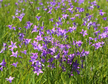 Purple Spreading bellflower on the spring meadow. Stock Photo
