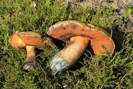 Mushrooms of Boletus luridus on the moor.