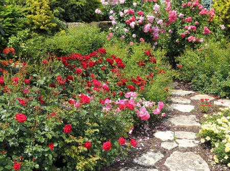 Bushes of beautiful  roses in the garden.