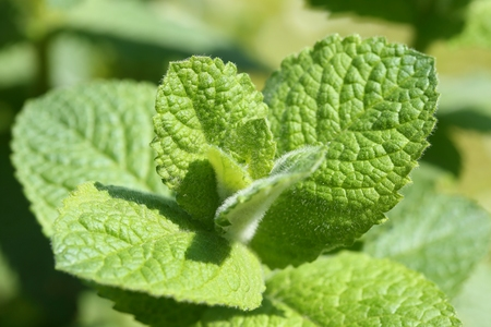 Closeup of fresh mints leaves texture . Aromatic green mint.