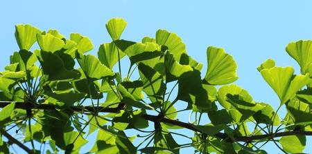 Ginkgo biloba green leaves on a tree.