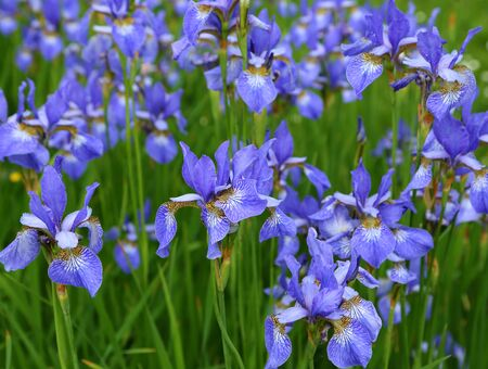 Beautiful blue flowers of Siberian iris. Iris sibirica blooming in the meadow.