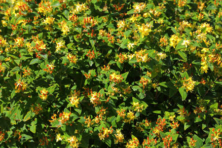 Hypericum androsaemum. Tutsan plant with flowers and berries in summer garden.