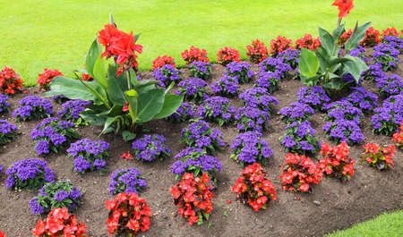 Beautiful flowerbed with red begonias and purple heliotrope. Stock Photo