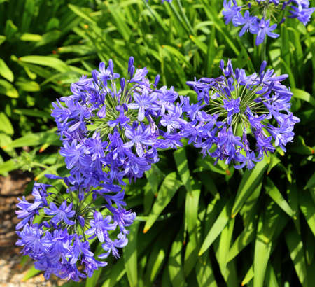Beautifully blooming blue agapanthus. Lily of the Nile, african lily.