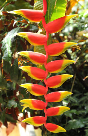 Beautifully blooming exotic heliconia. Hanging lobster claw, false bird of paradise. Stock Photo