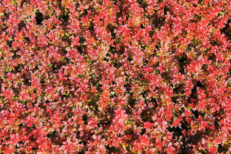 Ornamental shrubs with colorful leaves. Berberis thunbergii. Natural background.