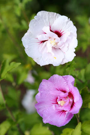 Pink and white hibiscus flower on a green background. Stock Photo