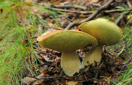 Edible boletus mushrooms growing in the forest. Stock Photo