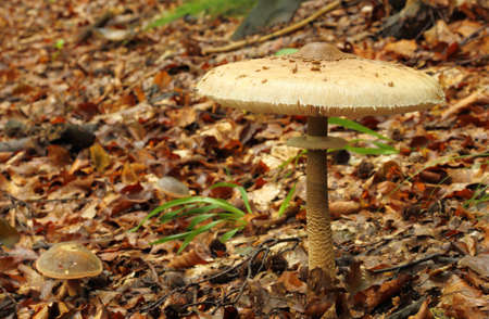 Macrolepiota procera, parasol mushroom growing in a beech forest. Stock Photo