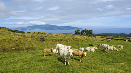 flock of cows and calfes on pico island azores portugal Imagens