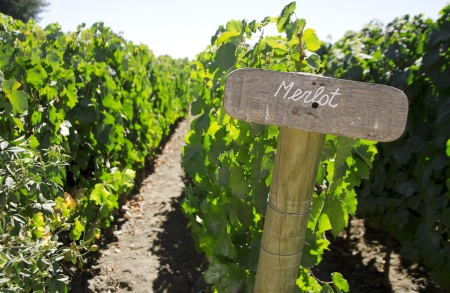 Wood sign of Merlot in a vineyard, Colchagua valley, Chile photo
