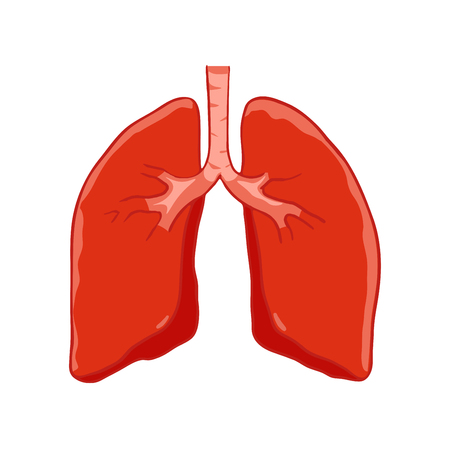 Vector Human lungs front view. Right and left lung with trachea. Healthy lung. Illustration