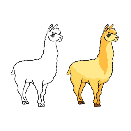 Coloring cute lama. One part of the outline of the picture, the second part is a painted version. Fluffy kind lama.