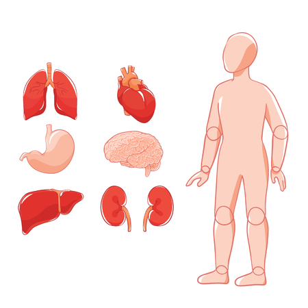 Vector layout organs: brain, heart, lungs, stomach, kidneys, liver. Doll human figure. Doodle human organ. Illustration