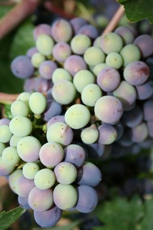 ripen: Grapes ripen on the vine