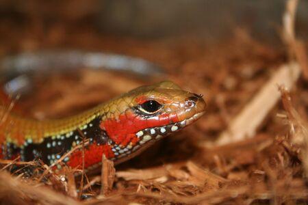 A banded reptile Reklamní fotografie