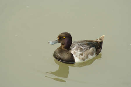 scaup: A Lesser Scaup enjoying the day