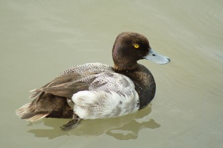 scaup: A Lesser Scaup floating in the sun