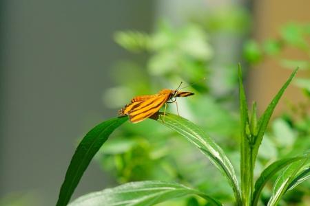 Drayadula butterfly on a leaf Stock Photo