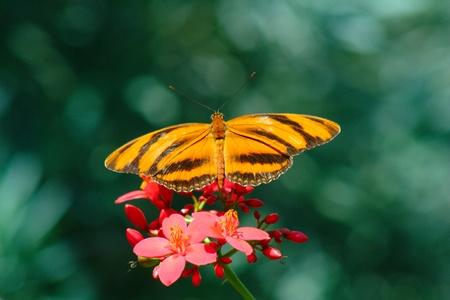 Drayadula butterfly on a flower