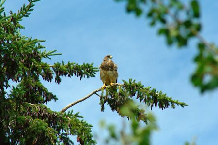 red tailed hawk: A Red Tailed Hawk