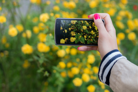 nature picture: Female hand with red manicure takes pictures of yellow flowers with mobile smart phone. On the background of yellow flowers and green grass.