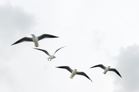 Seagulls fly in the winter sky, the view from below