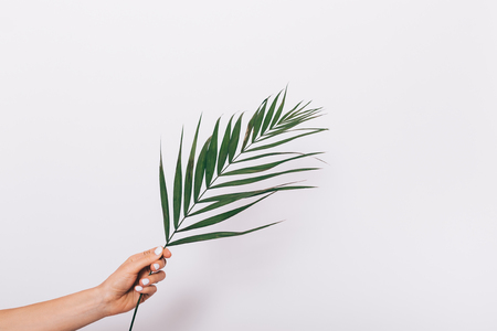 Female hand with manicure holds a palm leaf on a white background