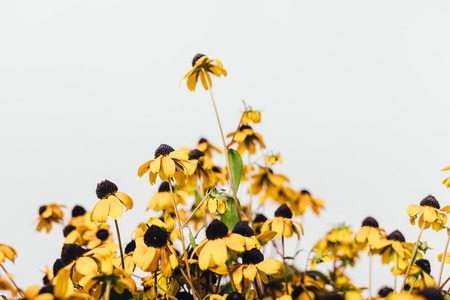 Close-up of simple rustic eco bouquet on white background. Beautiful small yellow flowers of rudbeckia with black middles.