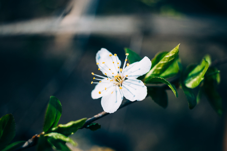 Delightful cherry flower on tree branch with green leaves, close-up. Beautiful scene of spring bloom. Stock Photo