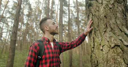 Young bearded backpacked man dressed in red checked shirt touches old pine tree in the forest