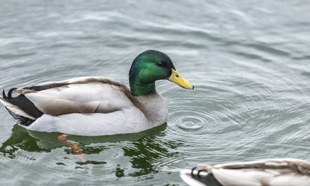 Duck swimming in the river, closeup photo 写真素材