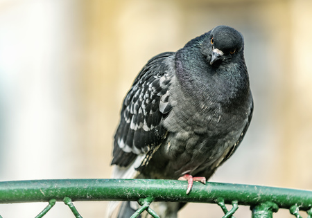 Focus of grey pigeon looking to the camera while sitting on the iron fence in town with сity background