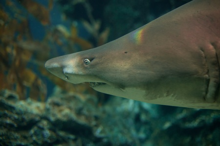 shark swimming in aquarium baring its teeth photo
