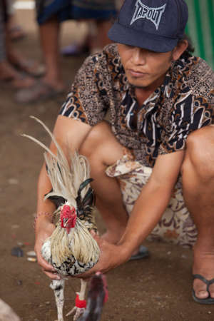 however: BALI - JANUARY 20. Cock fighting contest in Bali on January 20, 2012 in Bali, Indonesia. Cock fights are illegal, however are tolerated out of traditional.