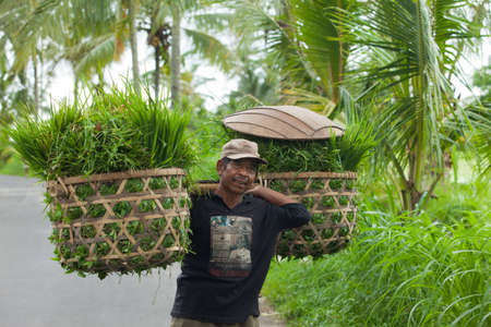 food staple: BALI - JANUARY 20. Balinese farmer carrying rice grass for his cows in Bali on January 20, 2012 in Bali, Indonesia. Rice is Asias main food staple sustaining agricultural life.