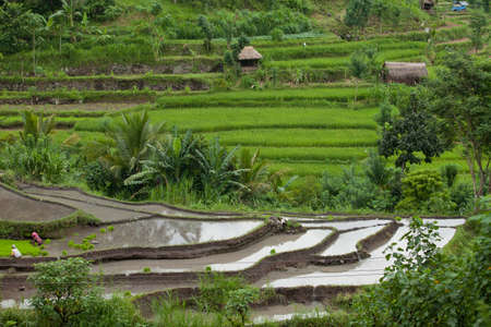 BALI - JANUARY 24. Rice farmers caring for their paddy fields on January 24, 2012 in Bali, Indonesia. Indonesia is currently the worlds third-largest producer of rice.