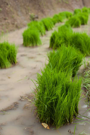 inundated: Bundles of rice grass ready for planting in paddy fields.
