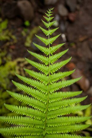 A beautiful fern leaf in the undergrowth of a tropical rainforest Stock Photo - 12772425