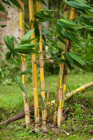 Natural growing bamboo in tropical forest in Bali in Indonesia Stock Photo - 12772451