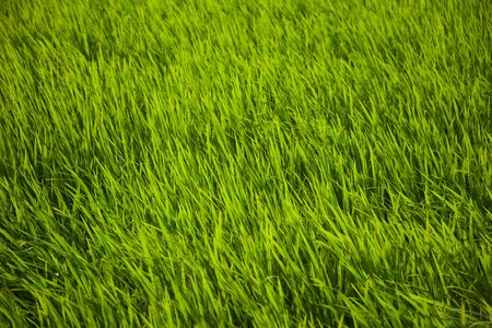 Long green rice grass in paddy fields in Bali, Indonesia photo
