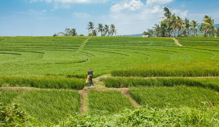 beautiful green rice paddy fields in Bali, Indonesia Stock Photo - 13056361
