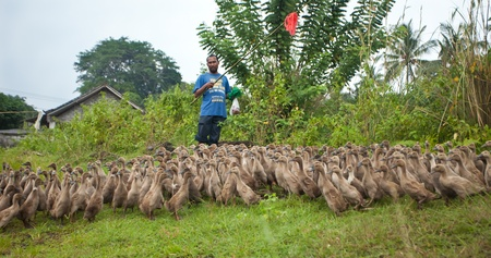 BALI - 29. Januar. Farmer gehen auf seine Enten 29. Januar 2012 in Bali, Indonesien. Reisbauern werfen auch Enten f�r ein zus�tzliches Einkommen und ihren Kot bieten fertilzer f�r ihre Felder.