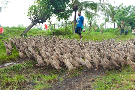 BALI - JANUARY 29. Farmer walking his ducks on January 29, 2012 in Bali, Indonesia. Rice farmers also raise ducks for extra income and their feces provide fertilzer for their fields. Stock Photo - 13047591