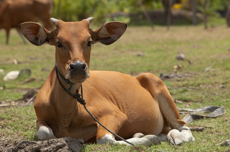 jersey cattle: Young brown cow calf sitting in meadow in Bali, Indonesia