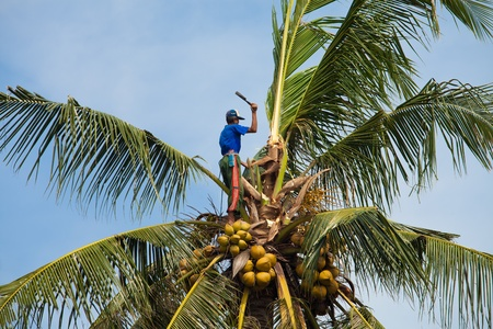 BALI - JANUARY 26. Balinese man harvesting coconut on January 26, 2012 in Bali, Indonesia. According to UN figures, Indonesia is the worlds second largest producer of coconuts.
