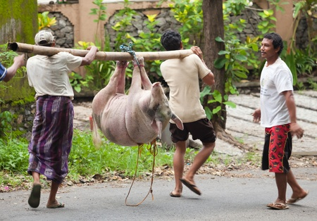 BALI - JANUARY 30. Men carry pig for slaughter for Galungan ceremony on January 30, 2012 in Bali, Indonesia. Traditionally, men get up before dawn to slaughter the pig. Stock Photo - 13265715