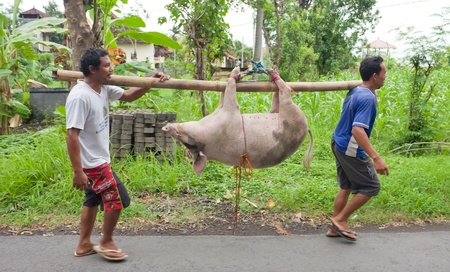 BALI - JANUARY 30. Men carry pig for slaughter for Galungan ceremony on January 30, 2012 in Bali, Indonesia. Traditionally, men get up before dawn to slaughter the pig.